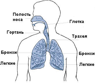 Как выглядят органы дыхания у ребенка.